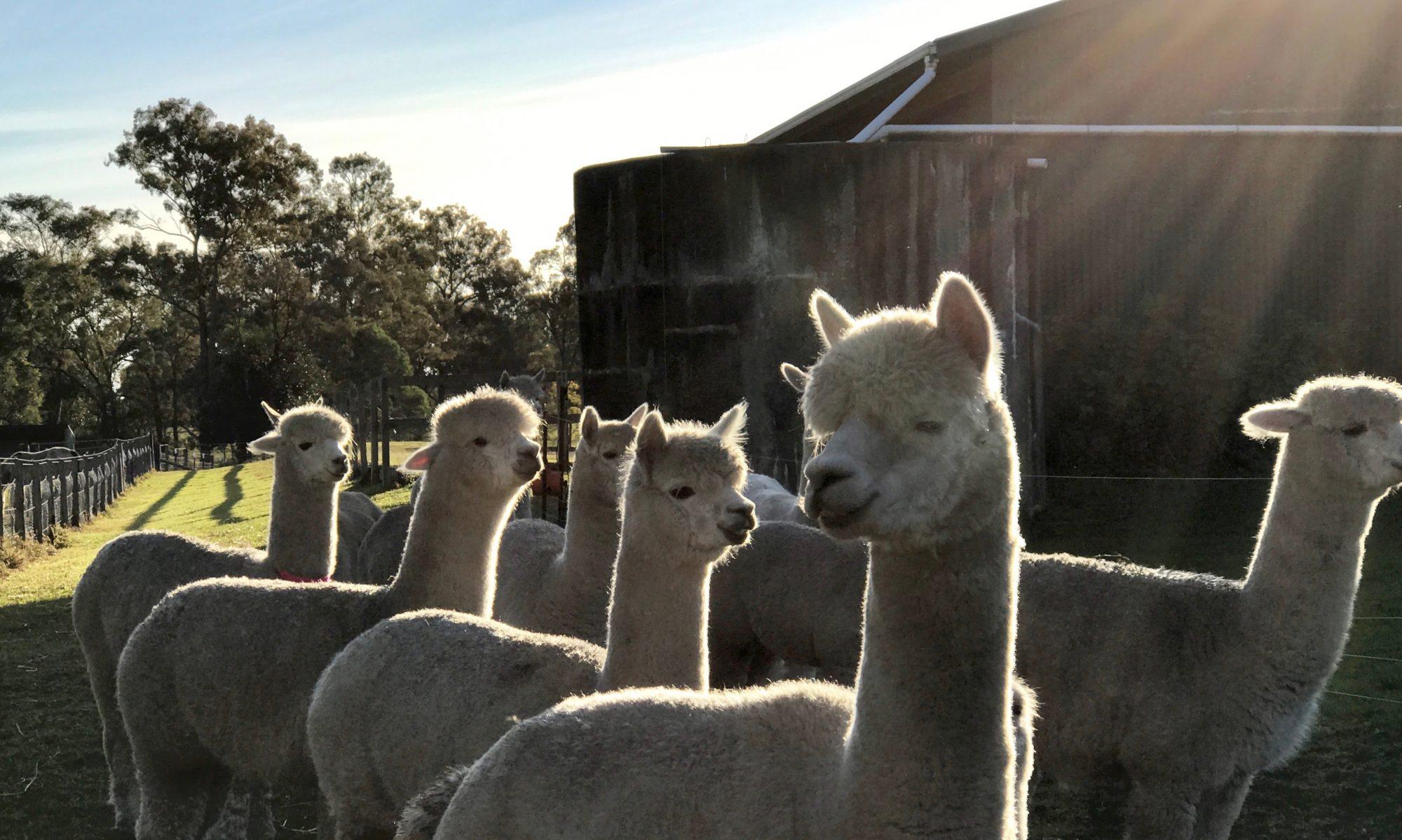Dunbar's Run Alpacas